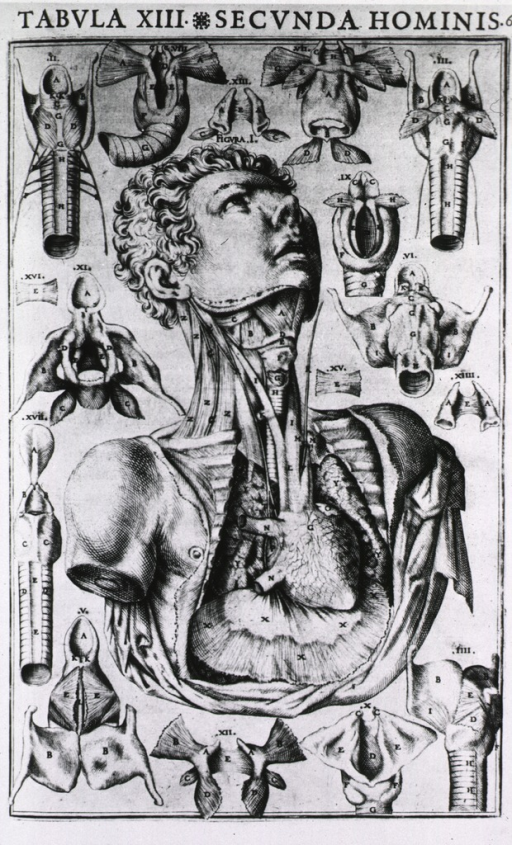 <p>Anatomical view of the heart, lungs, throat muscles and various related internal body parts in seventeen coded illustrations.</p>