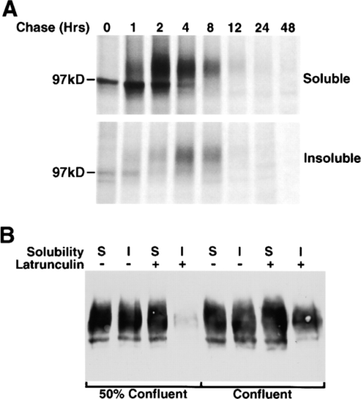 Acquisition and maintenance of detergent insolubility by AE1-4. MDCK cells stably expressing the AE1-4 anion exchanger were pulsed with 35S-Translabel™ for 15 min, and chased for times ranging from 0–48 h. At each time point, cells were detergent lysed and separated into soluble and insoluble fractions by centrifugation. Immunoprecipitates were prepared from each fraction using antibodies generated against the cytoplasmic domain of AE1-4. Immune complexes were analyzed on a 6% SDS polyacrylamide gel, and labeled anion exchangers were detected by fluorography (A). Confluent or 50% confluent monolayers of MDCK cells expressing AE1-4 were incubated in the absence or presence of 25 μg/ml latrunculin B for 1 h. Cells were then detergent lysed, and the detergent soluble and insoluble fractions were analyzed by immunoblotting analysis using AE1-specific peptide antibodies (B).