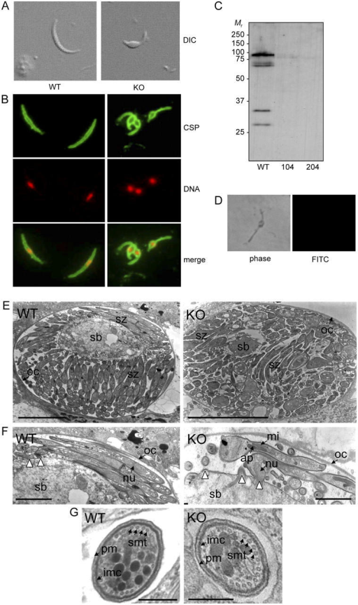 Characteristics of PbIMC1a-KO sporozoites. (A) Sporozoite shapes as observed by differential interference contrast (DIC). (B) Sporozoite shapes as observed by IFA staining for circumsporozoite protein (CSP, green) and DNA (red). (C) Western blot of oocyst sporozoites from WT and PbIMC1a-KO parasite clones 104 and 204. (D) Negative labeling of a PbIMC1a-KO sporozoite by IFA staining for PbIMC1a. (E) Cross section of sporulating oocysts. (F) Close-up view of E showing budding sporozoites. White arrowheads point at sporozoite budding sites. (G) Cross section of sporozoites. WT: wild-type, KO: PbIMC1a-KO, sb: sporoblast, sz: sporozoite, oc: oocyst wall, nu: nucleus, ap: apicoplast, mi: mitochondrion, pm: plasma membrane, imc: inner membrane complex, smt: subpellicular microtubules. Bars: 5 μm (E), 1 μm (F), 0.1 μm (G).
