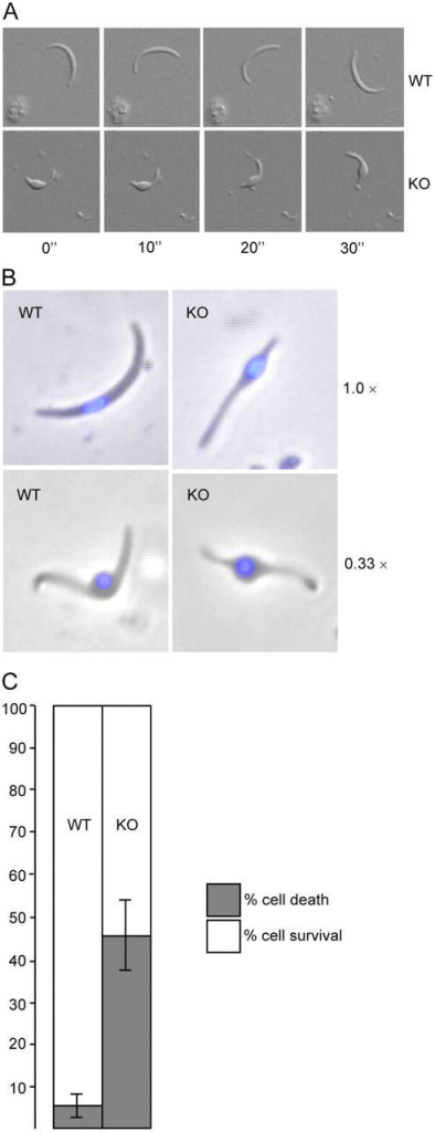 Sporozoite gliding motility and resistance to osmotic shock. (A) Circular gliding of sporozoites on glass slides. Frames are taken at 10-s intervals. (B) Swelling of sporozoites exposed to 0.33× normal osmotic strength, compared with untreated cells (1.0×). Nuclei are stained with DAPI (blue). (C) Percent sporozoite survival/death after hypo-osmotic shock (5-min exposure to 0.33× normal osmotic strength, values normalized to 100% viability in untreated cells). Error bars indicate SDs from two independent experiments. At least 100 cells were scored for each sample. WT: wild-type, KO: PbIMC1a-KO.