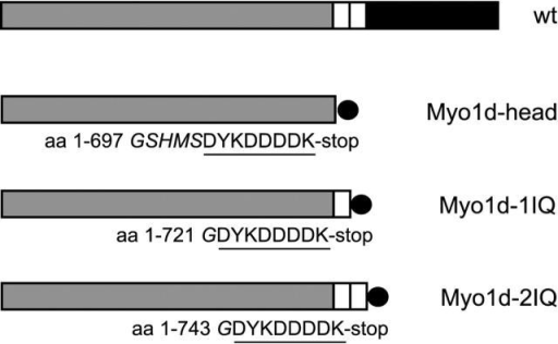 Schematic representation of the domain organization of wild-type rat Myo1d (wt) and the three recombinant constructs used in this work. Motor domains (gray), IQ motifs (white), and tail domain (black) are indicated. All recombinant constructs contain a COOH-terminal FLAG-epitope (circle). Amino acids of rat Myo1d, linker residue(s) (italics), and the FLAG-epitope sequence (underlined) included in the three different constructs are given.