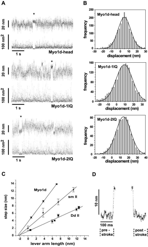 Single molecule step sizes of different rat Myo1d constructs. (A) Displacement records showing the interaction of a single actin filament with recombinant rat Myo1d molecules encompassing variable numbers of light chain binding sites. For each construct, representative traces of raw needle displacements (top trace) and the corresponding running variance recordings (bottom trace) are shown. During the attachment of a motor molecule, the fluctuation of the bead–filament–needle complex is significantly reduced. The records contain many actomyosin interactions of variable length; in each panel we highlighted one interaction by an asterisk. Attachments occur over the entire range of the free needle positions. According to Molloy and coworkers (Molloy et al., 1995), the positions of several events show a Gaussian distribution shifted for a distance equivalent to the step size. (B) Distribution of events for the different constructs, summarizing the (oriented) results of several measurements. (C) Step sizes are plotted against the putative lever arm lengths of the various rat Myo1d proteins (circles). The putative lever arm length was calculated by assuming an α-helical conformation of the light chain binding domain. The corresponding solid line represents the best fit of a linear regression analysis. For comparison, previously reported data of D. discoideum myosin II (Dd II, squares; Ruff et al., 2001) and chicken smooth muscle myosin II (sm II, triangles; Warshaw et al., 2000) are also included. The Myo 1d-head construct possesses a COOH-terminal linker of five amino acids that contributes 0.75 nm to the putative lever arm helix. FLAG-tag of Myo1d and (His)8-tag of D. discoideum myosin II (Ruff et al., 2001) are not included in this calculation. (D) Analysis for possible substep displacements. Example showing synchronized and averaged records from the interaction of a single actin filament with Myo1d-1IQ (n = 69). We detect no substeps with this analysis, as the average beginning and ending positions differ by <1 nm. In agreement with the histogram analysis, this analysis predicts a step size of just below 10 nm.