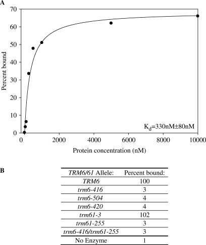 Mutations in either Trm6p or Trm61p abolish tRNA binding. (A) Various concentrations of purified recombinant wild-type enzyme were incubated with a constant amount of 32P end-labeled  (1 nM) purified from a trm6Δ strain (Y146) (7). Bound  was trapped on a nitrocellulose filter and measured using liquid scintillation. The percent bound was determined by dividing the amount of radiolabeled tRNA bound by the total amount of radiolabeled tRNA in each reaction. (B) Purified recombinant wild-type and mutant enzymes were tested for tRNA binding as in (A), but with 500 nM protein. The percent  bound is reported as a percentage of that bound by the wild-type enzyme, which was set to 100%, corresponding to ∼30% of the input bound. The data reported is the average of duplicate trials.