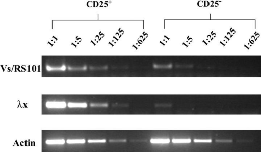 The CD25+ B cells in VH3H9/56R tgs have gone through extensive rearrangement at the κ L chain loci. Genomic DNA was prepared from CD25+ CD19+ and CD25− CD19+ B cells sorted from the spleen of VH3H9/56 tgs. PCRs that detect Cκ deletion (top, Vs-RS101) and Vλx-Jλ2 rearrangement (middle), and the control actin PCR (bottom) were performed using serial dilutions of DNA from each sample.