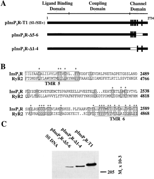 Construction and expression of the type 1 (SI−/SII+) InsP3 receptor membrane spanning domain deletion plasmids. (A) Schematic representation of the constructions used in this study. Membrane spanning region deletions pInsP3RΔ5-6 and pInsP3RΔ1-4 are illustrated below the full length receptor (InsP3R-T1). Deleted residues in pInsP3RΔ5-6 and pInsP3RΔ1-4 (residues 2398–2589 and 2211–2416, respectively) are indicated as unshaded regions. Vertical bars represent the membrane spanning domains. (B) The 150 amino acids bounded by the fifth and sixth TMRs of the type 1 InsP3R are aligned with the RyR2 sequence. The fifth and sixth InsP3R TMRs are boxed. Identical residues are shaded. Marked residues indicate identity between all three InsP3R isoforms and RyR2. (C) Western immunoblot of microsomal protein (10 μg, all lanes) from COS-1 cells transiently transfected with control SS DNA, pInsP3RΔ5-6, pInsP3RΔ1-4, and the full-length type 1 receptor (InsP3R-T1). The Western blot was probed with a type 1 specific carboxyl-terminal antipeptide antibody (Ramos-Franco et al. 1998b), and immunoreactive protein was detected using chemiluminescence reagents (Amersham Life Sciences, Inc.). Similar results were observed using a type 1 amino-terminal antibody (data not shown).