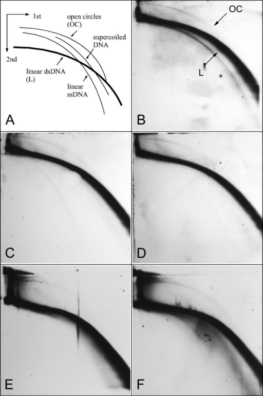 Detection of eccDNA molecules derived from Vicia faba FokI repeats in different tissues and under stress conditions. (A) Schematic outline of the migration patterns of linear and circular DNA forms on 2-D gel electrophoresis. (B-F) Detection of eccDNA in genomic DNA samples of V. faba separated on 2-D electrophoresis (0.4% and 1% agarose), Southern blotted and hybridized with FokI-derived probe. The DNA was isolated from root meristems (B), young (C) or old leaves (D), and from wounded leaves one (E) and two (F) days after the treatment.