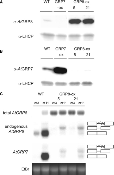 Influence of ectopic AtGRP8 overexpression on the endogenous AtGRP7 and AtGRP8. (A) The immunoblot with total protein of WT plants, the AtGRP8-ox lines 5 and 21 and an AtGRP7-ox line, harvested at zt11, was probed with the AtGRP8 antibody (top) and an antibody against LHCP (light harvesting chlorophyll-binding protein) as loading control (bottom). The absence of crossreaction with overexpressed AtGRP7 protein in AtGRP7-ox plants demonstrates the specificity of the antibody. (B) A duplicate blot was probed with the AtGRP7 antibody (top) and the LHCP antibody (bottom). (C) WT and AtGRP8-ox plants were harvested at zt3 and zt11. The RNA gel blot was hybridized with the AtGRP8 cDNA to determine the total AtGRP8 transcript level. The stripped blot was rehybridized with the gene-specific probe to monitor the endogenous AtGRP8 transcript and subsequently with the gene-specific AtGRP7 probe. The position of the pre-mRNA, as_AtGRP8 and as_AtGRP7 retaining the first half of the intron and the mature mRNA are indicated. Boxes represent exons, lines represent the first and second half of the intron, respectively. The ethidium-bromide stained gel shows equal loading.