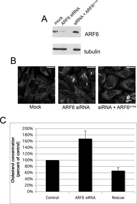 "Depletion of ARF6 promotes cholesterol accumulation in normal cells.HeLa cells were mock-treated with transfection reagent alone or transfected with siRNA directed against ARF6 alone or plus pIRES-GFP-ARF6si-res (""Rescue"") and analyzed 48 h later. A, ARF6 levels in cell lysates were determined using Western Blot analysis and probing for mouse anti-α-tubulin antibody (loading control) and a monoclonal antibody against ARF6. B, Cholesterol localization in fixed cells was assessed using BCθ toxin and streptavidin conjugated to Alexa Fluor 594. All three images were acquired in the same experiment using identical acquisition parameters. Contrast was enhanced using identical parameters in Adobe Photoshop 7.0. Inset in last image displays GFP expression indicating cells transfected with pIRES-GFP-ARF6si-res. Bars, 20 µm. C, Quantitation of cholesterol concentration using colorometric assay (see Methods). Values shown are percent of control. For each condition, the average of four independent experiments is shown with standard error bars. Statistically significant comparisons: ARF6 siRNA vs. control, p = 0.056 and ARF6 siRNA vs. Rescue, p = 0.012, using a two-tailed t-test."