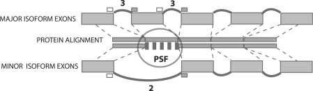 Identification of PSFs. Protein sequences corresponding to the major and a minor isoform of a gene are aligned, and regions in the alignment that differ identified. Deletions are defined as missing fragments in minor isoforms. Replacement is defined as a substitution of identical size. Truncations and elongations are substitutions that change the length of a fragment. Numbers above each intron bridge are conservation scores, the number of species in which this or a homologous bridge is found. Here, the alternative intron has a score of 2, indicating it was detected in human and one other species (the maximum possible conservation score is 11).