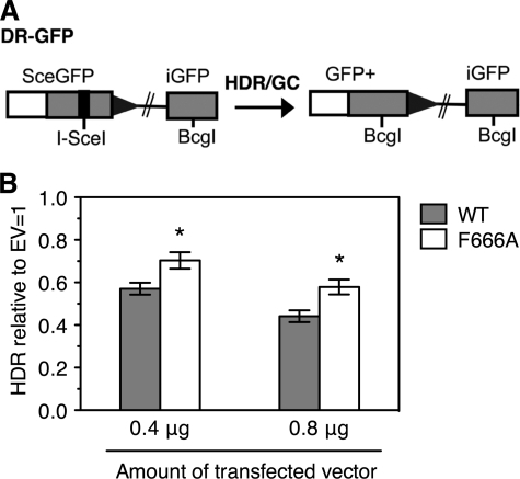 Role of physical interaction between RECQ5 and RAD51 in the suppression of HR-mediated DSB repair in human cells. A, diagram of the DR-GFP reporter along with the homology-directed repair (HDR) product that gives rise to GFP+ cells. B, effect of overexpression of wild-type (WT) RECQ5 and the F666A mutant on HR repair of an I-SceI-induced DSB in HEK293 cells. Cells were transfected with an I-SceI expression vector along with the indicated amounts of either an expression vector for RECQ5 (WT or F666A) or empty vector (EV). Shown are the levels of repair relative to the mean value of a parallel set of EV transfections. Data represent the mean values of three independent transfections. Error bars reflect the S.D. Asterisks denote statistically significant difference as compared with WT RECQ5 by unpaired Student's t test (p = 0.0086 for 0.4 μg of plasmid DNA; p = 0.006 for 0.8 μg of plasmid DNA).