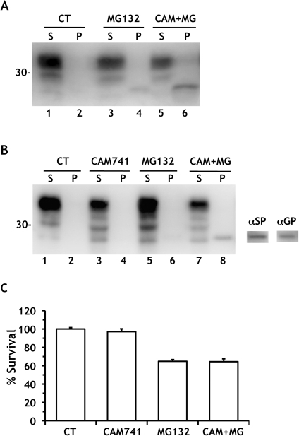 SP-PrP has no effect on viability of cerebellar granule neurons.(A) Hippocampal neurons from C57BL/6J mice were treated with 5 μM MG132 alone or with 10 μM CAM741 for 18 h, and PrP was analyzed by Western blot as described in the legend to Fig. 1. Note the higher level of SP-PrP in the presence of CAM741 (compare lanes 4 and 6). (B) Cerebellar granule neurons from C57BL/6J mice were treated with 10 μM CAM741, 10 μM MG132 or with the two drugs simultaneously for 24 h, before Western blot analysis with antibody 12B2. The PrP band in lane 8 also reacted with the α-SP and α-GP antibodies (on the right). (C) Cell survival was quantified by MTT assay and expressed as a percentage of the values for cells treated with the vehicle. Data are the mean ± SEM of 18–20 replicates from two independent experiments. The Bonferroni test did not find any difference between MG132 and CAM+MG groups.