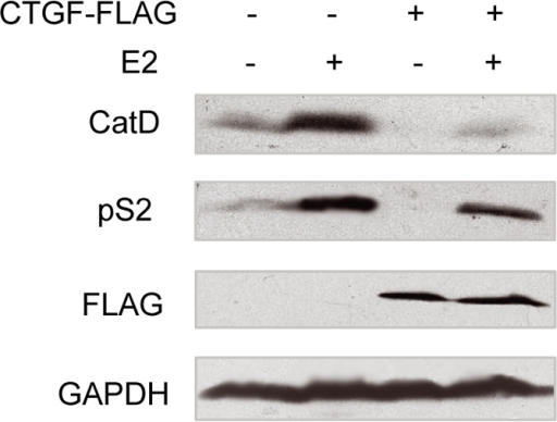 CTGF reduces estrogen-responsive protein expression.MCF7 cells stably transfected with FLAG-tagged CTGF were treated with E2 or without E2. Conditioned media were blotted with antibodies to cathepsin D (CatD), pS2 and FLAG, and whole cell lysates were blotted with anti-GAPDH.