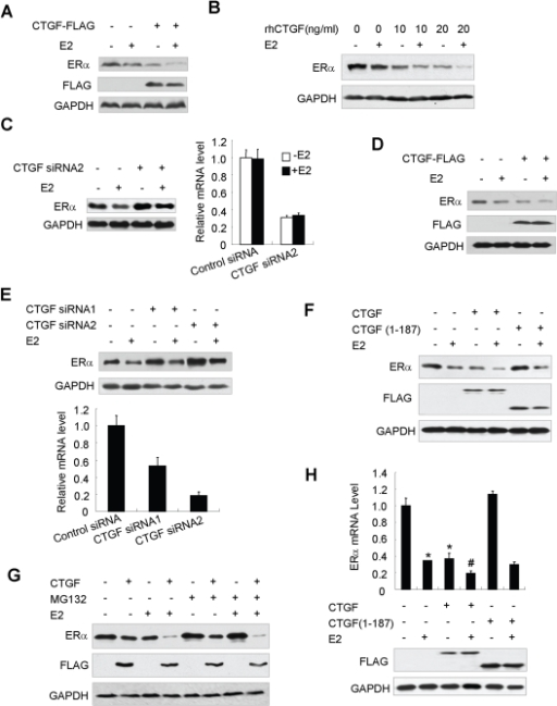 CTGF inhibits ERα expression.(A) MCF7 cells stably transfected with FLAG-tagged CTGF, which constitutively expressed FLAG-CTGF, or MCF7 cells stably transfected with empty vector were treated with 10 nm E2 for 24 h. Whole cell lysates were blotted with the indicated antibodies. (B) MCF7 cells were treated with the indicated amounts of recombinant human CTGF (rhCTGF) and analyzed as in (A). (C) MCF7 cells transfected with CTGF siRNA2 or control siRNA were treated and analyzed as in (A). Knockdown effect of CTGF siRNA2 on the endogenous CTGF mRNA level was determined by real-time PCR with CTGF and β-actin primers (right panel). (D) ZR75-1 cells transiently transfected with FLAG-tagged CTGF or empty vector were treated and analyzed as in (A). (E) ZR75-1 cells transfected with CTGF siRNA1 or CTGF siRNA2 were treated and analyzed as in (A). Knockdown effect of CTGF siRNA1 or CTGF siRNA2 on the endogenous CTGF mRNA levels was determined as in (C) (lower panel). (F) MCF7 cells were transfected with FLAG-tagged CTGF or CTGF(1–187) and treated with 10 nm E2. Cell lysates were analyzed by immunoblot with the indicated antibodies. (G) MCF7 cells stably transfected with FLAG-tagged CTGF or empty vector were pretreated with 10 µM MG132 for 1 h to block proteasome activity. Cells were then treated with 10 nM E2 for 24 h. Cell lysates were analyzed as in (D). (H) MCF7 cells transfected with FLAG-tagged CTGF or CTGF(1–187) were used for real-time RT-PCR with ERα and GAPDH primers (upper panel). Cell lysates were examined by immunoblot with the indicated antibodies (lower panel). Data shown are means ± SD of triplicates of one representative experiment and have been repeated three times with similar results. *P<0.01 versus empty vector without E2. #P<0.01 versus empty vector with E2.