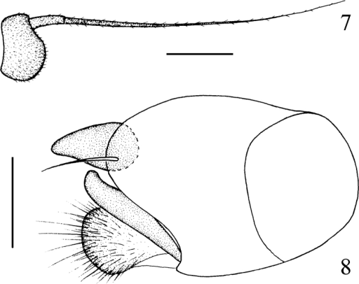 Chrysotimus hubeiensis sp. n. 7 first flagellomere, lateral view 8 male genitalia, lateral view.