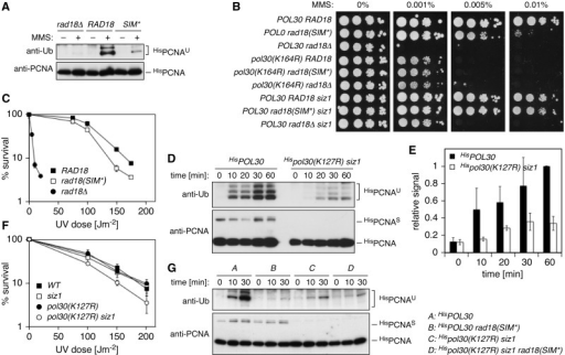 Relevance of the SIM–SUMO interaction for Rad18 function in vivo. (A) Damage-induced PCNA ubiquitylation is reduced in the SIM* mutant. HisPCNA was isolated by Ni–NTA pull-down under denaturing conditions from extracts of MMS-treated cells, and ubiquitin conjugates were detected by anti-ubiquitin western blot. (B) Mutation of the SIM confers enhanced sensitivity to MMS in a manner dependent on K164 of PCNA, but the phenotype is suppressed by deletion of SIZ1. Deletion mutants of rad18 were complemented with RAD18 (WT or SIM*) for spot assays. An empty vector served as control. (C) Mutation of the SIM confers enhanced UV sensitivity. (D) Damage-induced PCNA ubiquitylation is reduced in a mutant deficient in PCNA sumoylation, pol30(K127R) siz1. A modification time course was analysed as in panel A. (E) Quantification of the blots shown in panel D, relative to the WT signal at 60 min. (F) The pol30(K127R) siz1 mutant displays enhanced UV sensitivity. (G) The PCNA ubiquitylation defects of rad18(SIM*) and pol30(K127R) siz1 show an epistatic relationship. Modifications were analysed as in D.