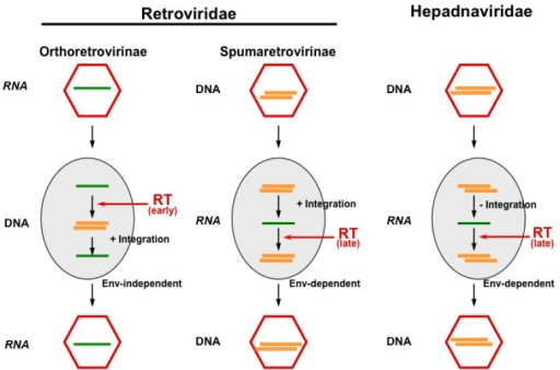 The principal replication strategies of viruses making use of reverse transcription. While orthoretroviruses are RNA viruses, which replicate through a DNA intermediate and require integration for reproduction, hepadnaviruses are DNA viruses replicating through an RNA intermediate without the integration of their genome. FVs appear to functionally bridge these pathways, since they reverse transcribe (at least to a significant extent) late in replication (like hepadnaviruses) and must integrate their genome into the host cell genome (like orthoretroviruses). Furthermore, cellular exit of FV particles depends on their cognate glycoprotein as in hepadnaviruses, while budding of orthoretroviral particles is Env-independent (Figure adapted from [3]). RT, reverse transcriptase.