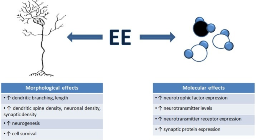 Environmental enrichment induces morphological and molecular changes in the brain. An overview of the number of structural and molecular mechanisms that contribute to the changes in neuronal function, and ultimately, changes in behavior, seen after EE exposure. These mechanisms are thought to underlie EE-induced neural plasticity.