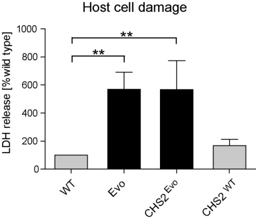 Introduction of a single nucleotide exchange into CHS2 results in increased macrophage damage.Following 24 h co-incubation with macrophages, the CHS2Evo strain, containing the Evo allele of the CHS2 gene, elicited the same increased LDH release from macrophages as the Evo strain. Reintroduction of the wild type CHS2 gene (CHSWT) into the WT strain did not lead to a significant change in its damage potential. (n≥3).