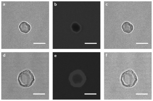Confocal images of NPCs in the presence of rhodamine.Forward (a, d), confocal (b, e) and merged (c, f) images of empty capsules (top) can be compared with the corresponding images of (PSS/PAH)4/CytcO NPCs (bottom). The scale bar is equivalent to 5 µm.