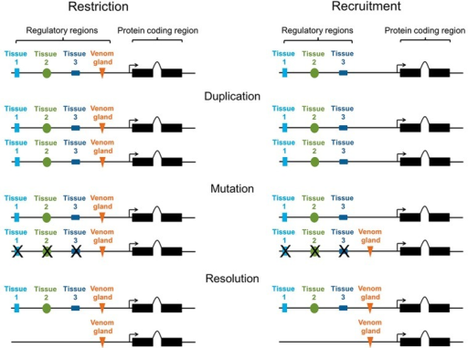 Restriction and recruitment. Duplicated genes may be either restricted or recruited to the venom gland, with recruitment dependent on the evolution of new combinations of transcription factor binding sites in upstream regulatory regions. Mutation/loss of regulatory regions is indicated with an X.