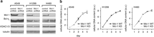Mcl-1 does not affect cell proliferation in lung cancer cells. (a) Western blot showing efficient knockdown of Mcl-1 by shRNA-transfected stable cell lines from A549, H1299 and H460 cells. Bcl-xL and VDAC levels are unaffected. (b) Summary of proliferation in control Mcl-1 WT and Mcl-1 knockdown lung cancer cells (mean±S.E.; P>0.05; student's t-test)