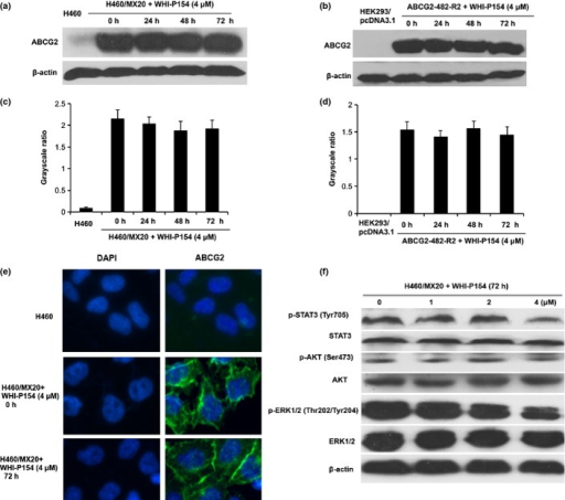 The effect of WHI-P154 on the expression levels and localization of ABCG2, and on the blockade of STAT3, AKT and ERK1/2 phosphorylation in ABCG2-overexpressing cells. Western blot showed the effect of WHI-P154 on the expression level of ABCG2 after cells were treated with 4 μM of WHI-P154 for 0, 24, 48, and 72 h (a). Grayscale ratios of BCRP/β-actin were analyzed with Image J. The differences were statistically not significant (P > 0.05) (c). Similarly, WHI-P154 did not significantly alter the expression level of ABCG2 in ABCG2-482-R2 cells (b, d). Figure 3(a, c) representative result is shown from at least three independent experiments. Immunofluorescence staining showed membranous cellular localization of ABCG2 in H460/MX20 cells after treatment with WHI-P154 for 72 h. ABCG2 staining is shown in green. Fluorescent DAPI (blue) counterstains the nuclei (e). Western blot showed the effect of various concentrations of WHI-P154 on the phosphorylation of STAT3, AKT and ERK1/2 (f). Representative results are shown and similar results were obtained in two other independent trials.