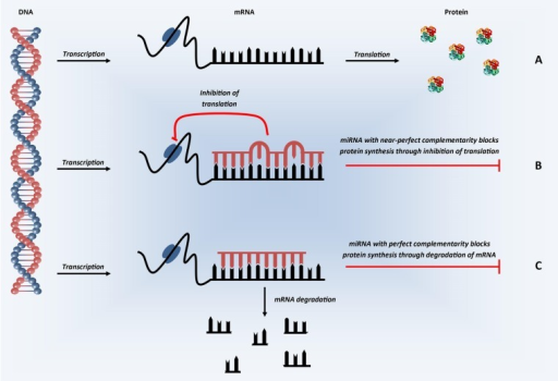 Schematic representation of microRNA mechanism of action. In the first step of protein synthesis, the DNA which codes for the protein of interest is converted into mRNA (transcription). (A) In the absence of miRNA, the mRNA transcripts are converted into protein (translation). (B) In the presence of miRNA with partial, near-perfect complementarity to the mRNA of interest, miRNA binds in the 3′ UTR and represses translation—inhibiting protein synthesis. (C) In the presence of miRNA with perfect complementarity, miRNA binding in the 3′ UTR is thought to inhibit protein synthesis through the induction of mRNA degradation. In humans, perfect complementarity is rare, with varying degrees of partial complementarity the predominant situation.