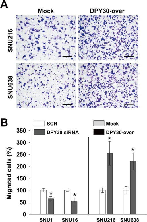 DPY30 regulated the migration of gastric cancer cells.(A) A Boyden chamber assay was used to measure the migration of gastric cancer cells. 10% FBS was used to induce migration, and mitomycin C (0.01 μg/ml) was added to remove the effects of proliferation. Two days after transfection with 100 nM ORF-targeting DPY30 siRNA or scrambled (SCR) siRNA, migration assays (Boyden chamber assay) were performed. Migration assays were carried out on DPY30-over and mock cells after culture for one day. Bar = 100 μm. (B) Migrated cells were counted and results are presented as a bar graph. Values are the means ± SDs of three independent experiments performed in triplicate. *, p < 0.01 (Student's t test, versus SCR or Mock).