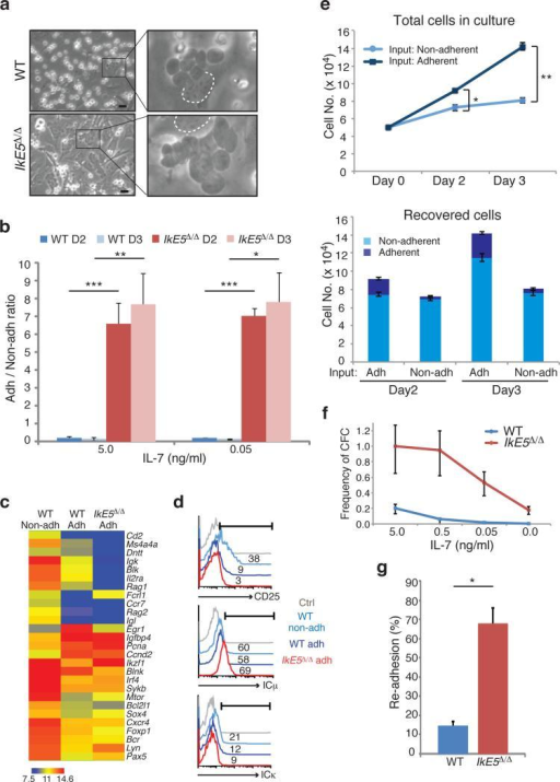 A stromal-dependent self-renewing phase in pre-B cell differentiation is greatly augmented by loss of Ikarosa, An adherent phase in pre-B cell differentiation as revealed in stromal cultures of WT and IkE5Δ/Δ large pre-B cells grown in the presence of IL-7 (5 ng/ml). Areas with adherent cells were marked with rectangles (left) and digitally magnified (right). Dotted circle marks the nucleus of OP9 stromal cells used as a stromal reference (scale bar, 30 μm). b, Ratio of adherent to non-adherent cells in WT and IkE5Δ/Δ pre-B cultures at day 2 (D2) and day 3 (D3) with 5 and 0.05 ng/ml of IL-7. The mean ratio is presented ± s.d. Asterisks denote significant differences between WT and mutant pre-B cells at each culture time point (***P < 0.0001, **P < 0.01, *P < 0.05, two-tailed Student's t-test). c, Comparative expression analysis of pre-B cell differentiation genes in adherent and non-adherent pre-B cells. Hierarchical clustering of normalized gene expression values across different conditions is shown. d, Flow cytometric analysis of adherent and non-adherent cells from WT and IkE5Δ/Δ large pre-B cell stromal cultures for CD25 and intracellular Igκ and Igκ. The percentages of positive cells relative to isotype control (grey curve) are indicated. e, Rates of propagation of WT adherent and non-adherent pre-B cell fractions grown with 5 ng/ml of IL-7. The mean number of cells generated by 5 × 104 adherent (dark blue) or non-adherent (light blue) WT pre-B cells after replating on OP9 stroma for 3 days of culture is shown in the top panel. The mean number of adherent and non-adherent subsets recovered from plating either WT adherent or non-adherent pre-B cell stromal cultures is shown in the bottom panel. Error bars indicate s.d. Asterisks indicate a statistically significant difference in the growth (top panel) of WT adherent and non-adherent B cells (*P< 0.05, **P < 0.01, two-tailed Student's t-test). f, Limiting dilution colony forming assay was performed as described previously29. The mean frequency of colony forming cells was calculated based on Poisson distribution and is presented in a line graph ± s.e. g, Re-association of WT and IkE5Δ/Δ pre-B cells after replating on stroma. The mean percentage ± s.d. of stromal-adherent cells, measured 3 hrs after replating is shown. Study was performed with two independent WT and mutant pre-B cell cultures (closed and open symbols), each assayed in ten grids/well. Binding to stroma was calculated per twenty grids and averaged for each cell type (*P < 0.0001, two-tailed Student's t-test).