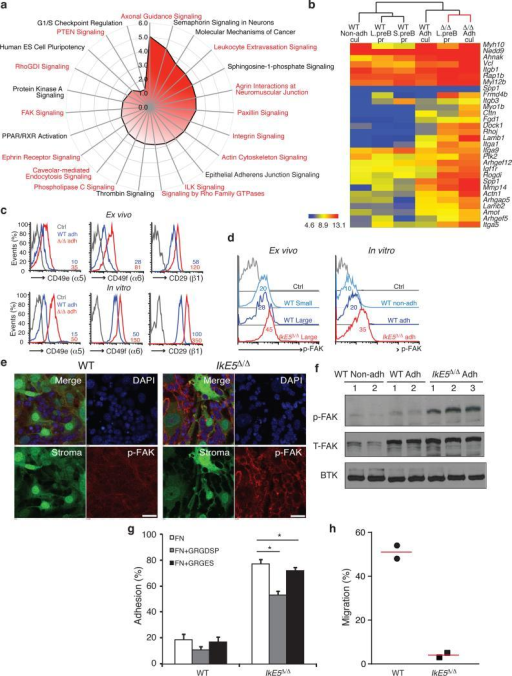 Increase in integrin signaling mediates adhesion of IkE5Δ/Δ pre-B cells to a stromal nichea, Pathway analysis of genes upregulated in IkE5Δ/Δ relative to WT large pre-B cells. Analysis was performed with a signature of upregulated genes shared by ex vivo mutant pre-B cells prior to and after limited stromal expansion. Pathways enriched for integrins and integrin signaling effectors are highlighted in red. b, Upregulated expression of components of the integrin-actin cytoskeleton pathway in primary and cultured WT and IkE5Δ/Δ pre-B cells as defined in Figs. 1 and 3. Hierarchical clustering of normalized gene expression values across different conditions is shown. c, Cell surface expression of integrins α5, β6, and activated β1 in ex vivo sorted and in vitro cultures of large pre-B cells. MFI for integrin staining is provided. d-f, Increase in FAK activation measured by flow cytometry, immunoblot and confocal microscopy. d, Flow cytometric analysis of p-FAK expression in ex-vivo and in vitro cultured large pre-B cells. MFI for p-FAK is indicated. e, Confocal immunofluorescence microscopy detection of activated p-FAK (red channel), GFP-expressing OP9 stroma (green channel), and nuclei (DAPI, blue channel). Scale bar, 25 μm. f, Immunoblot analysis of total FAK and activated p-FAK, with Btk as a loading control as in Fig. 4a. g, Adhesion of WT and IkE5Δ/Δ adherent pre-B cells to fibronectin-coated plates (left panel) in the presence of the fibronectin-derived RGD peptide or the RGE mutant variant (right panel). Asterisks denote significant differences in adhesion between mutant pre-B cells in the presence or absence of RGD or RGE peptides (n=3; *P < 0.05, two-tailed Student's t-test). h, Chemotaxis of WT (circle) and IkE5Δ/Δ (square) pre-B cells measured in a transwell migration assay in the presence of SDF1. The mean percentage of cells recovered at the bottom of the well in two independent studies is shown.