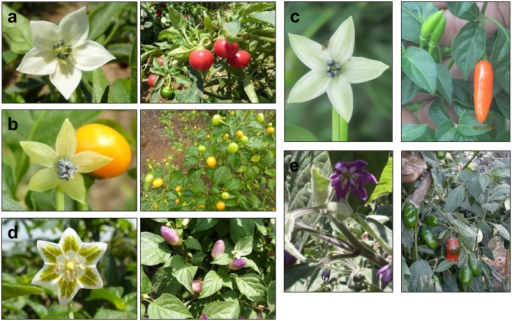 Examples of flowers and fruits from the five cultivated species: a) C. annuum; b) C. chinense; c) C. frutescens; d) C. baccatum; and e) C. pubescens.Capsicum annuum and her sister species, C. chinense and C. frutescens all have white flowers. The flowers of Capsicum baccatum have yellow-green spots on the white petals. Capsicum pubescens can be distinguished by purple flowers. Photo credits: Centro de Investigación y Desarrollo Rural Amazónico (CIDRA), Xavier Scheldeman, Maarten van Zonneveld.