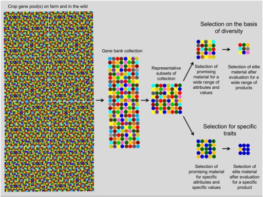 Conceptual diagram showing the different steps followed in this study in the conservation of the necessary variation for selection, and evaluation and identification of promising accessions on the basis of diversity indicators as selection criteria.