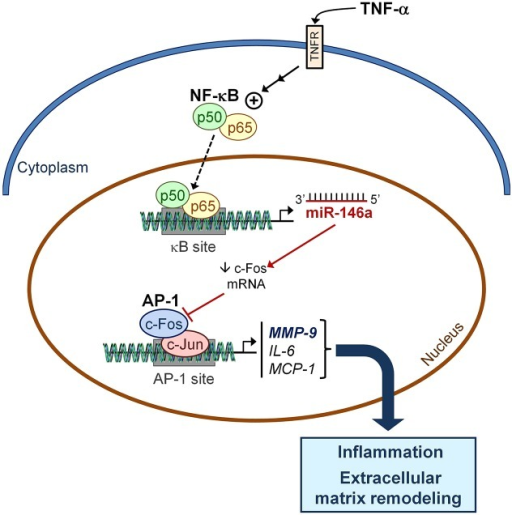 Schematic model depicting the potential role of miR-146a in TNF-α-induced effects in the heart. Exposure of cardiac cells to TNF-α strongly induces miR-146a, probably in a process dependent on NF-κB transcriptional activity (dashed arrow). Enhanced miR-146a levels are directly responsible for Fos expression downregulation. The subsequent reduction in AP-1 DNA-binding activity results in the modulation of inflammation by attenuating IL-6 and MCP-1 expression, together with a reduction in MMP-9 expression and activity. AP-1, activator protein-1; Fos, FBJ murine osteosarcoma viral oncogene homolog; IL-6, interleukin 6; MCP-1, monocyte chemoattractant protein 1; MMP-9, matrix metalloproteinase 9; NF-κB, nuclear factor-κB; TNF-α, tumor necrosis factor α.