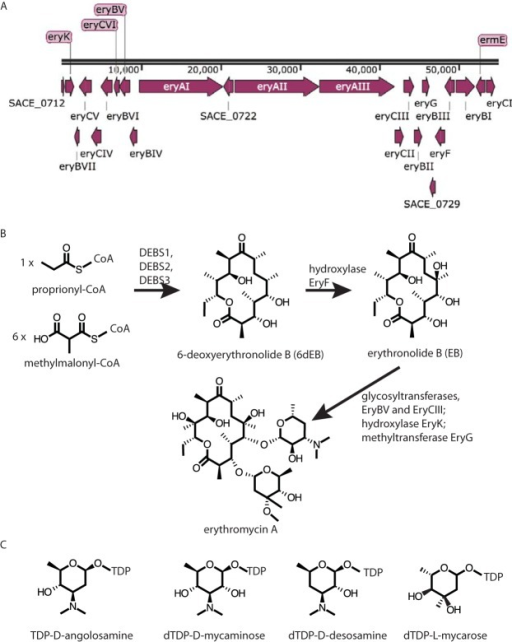 Overview of the biosynthesis of erythromycin. (A) Map of the erythromycin gene cluster from S. erythraea NRRL 2338. (B) Synthesis of erythromycin A showing the intermediates 6-deoxyerythronolide B (6-dEB) and erythronolide B (EB). (C) Four activated sugars relevant to the present study.