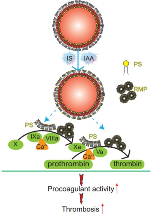 Mechanism diagram of indolic solutes-induced PCA of erythrocytes. IS and IAA triggered PS externalized on the outer membrane of RBC and accompanied with RMPs shedding. Externalized PS on RBCs and PS-bearing RMPs provided binding sites for FXa and prothrombinase complexes, increased thrombin production and enhanced thrombus formation. PS, phosphatidylserine; RMPs, RBC derived MPs; IS, Indoxyl sulfate; IAA, indoxyl-3-acetate acid; PCA, procoagulant activity.