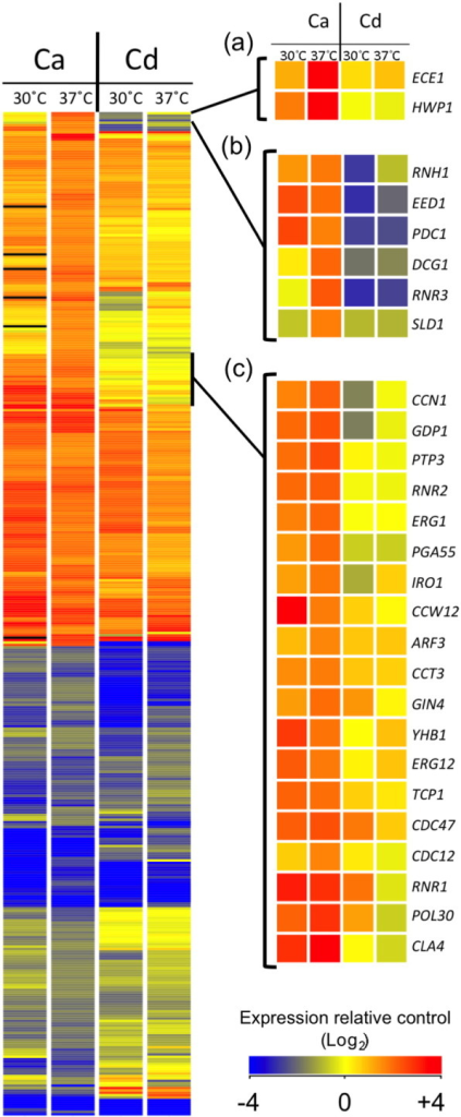 A comparison of the transcriptional responses of C. albicans (Ca) and C. dubliniensis (Cd) to dilution at 30 °C and 37 °C. The 'heat-map' on the left shows the expression patterns for 419 genes identified as > 2-fold regulated (t-test p < 0.05) in C. albicans following a switch to 37 °C (from (10). Expression following dilution to medium at 30 °C is also shown. On the right, the expression of the orthologous gene in C. dubliniensis under similar conditions is shown. Expression refers to fold-change relative to the preculture conditions (30 °C) and is denoted by the colour according to the legend. Certain sections are expanded in panels (a), (b) and (c) for clarity, as detailed in the text.