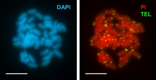 Chromosomal mapping of telomeric sequences to chromosomes of Merluccius merluccius.Metaphase plate of Merluccius merluccius stained with DAPI (a) and PI (b). Note that telomeric signals (green) appear only at the ends of the chromosomes. Scale bars, 5 μm.