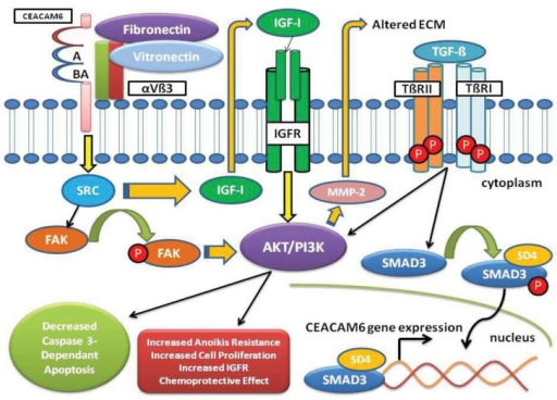CEACAM6 Signaling Pathway. Over-expression of CEACAM6 results in alteration and reorganization of the ECM and activation of the TME playing a key role in tumor invasion. CEACAM6 signaling increases SRC activity leading to increased IGF-I secretion with autocrine and paracrine stimulation of the IGF-1R activating the PI3K/AKT pathway. Increased IGF-I expression results in MMP-2 elaboration, subsequently altering the ECM promoting a malignant TME. Aggregation of CEACAM6 at the cell surface enhances anoikis resistance through activation of SRC in a caveolin-1-dependent manner allowing for phosphorylation of its substrate focal adhesion kinase (FAK). TGF-β elaborated in the TME binds to the type II receptor (TβRII), promoting hetero-tetramerization with the type I receptor (TβRI) increasing the phosphorylation of SMAD3 by activated TβRI. Phosphorylated SMAD3 forms a complex with Co-Smad (SD4), which translocates into the nucleus to bind gene promoters and activate expression of target genes, specifically CEACAM6. Also, TGF-β signals through the TGF-β receptors to activate alternate pathways such as AKT/PI3K.