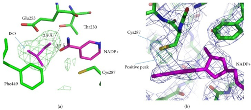 Active site in the complex of AlDHPyr1147 with isobutyraldehyde (ISO) and NADP+. The active site residues are in green. NADP+ and isobutyraldehyde are in magenta. The 2Fobs − Fcalc electron density map for the AlDHPyr1147 model is contoured at 1σ and colored blue. (a) The omit Fobs − Fcalc electron density map for the model of the tertiary complex around the region of the substrate. The map is colored green and contoured at 3σ. (b) Positive electron density in the Fobs − Fcalc electron density map for AlDHPyr1147, which is indicative of the possible second conformation of Cys287. The Fobs − Fcalc electron density map for the AlDHPyr1147 model is contoured at +3.2σ and colored green. Hydrogen bonds are shown by dashed lines.