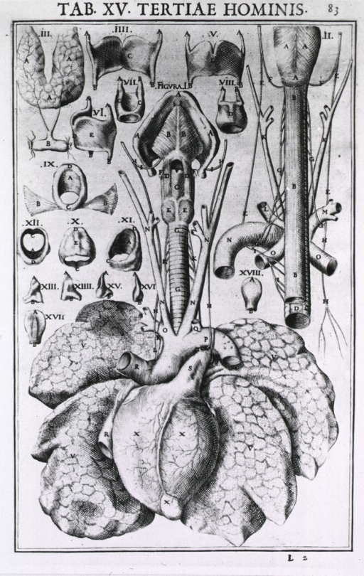 <p>Anatomic view of the heart, lungs, and trachea with many related illustrations.</p>