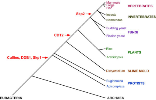 The genesis of CUL4-DDB1CDT2 and SCFSkp2 E3 components. CUL4-DDBCDT2 and SCFSkp2 complex components were examined in representative organisms of diverse phyla (Table 2). A phylogenetic tree of the taxa analyzed, from eubacteria to mammals, is presented. Note that distances between branches are not to scale. Species and major classifications are color-coordinated, and the temporal locations of the presumed origins of E3 component genes are in red. CUL1-like and CUL4-like cullins, as well as their adaptor proteins DDB1 and Skp1, respectively, appear to have arisen early in eukaryotes, as they are absent from archaea and bacteria but are found in the eukaryotes examined. CDT2, the SRS for a CUL4-DDB1 E3 complex, appears to have arisen prior to the genesis of green plants. Skp2, the SRS for a CUL1 E3 complex, appears to have arisen after the genesis of fungi but prior to the genesis of metazoa. The branching order is based on a phylogenetic analysis using rRNA [76]. Note that other phylogenies, based on protein sequences, reverse the order of plants and slime molds [77]. Combining our genomic data with this alternative branching of phyla (not shown) would imply that CDT2 was created prior to plants in the main eukaryotic lineage but then lost within the slime mold lineage.