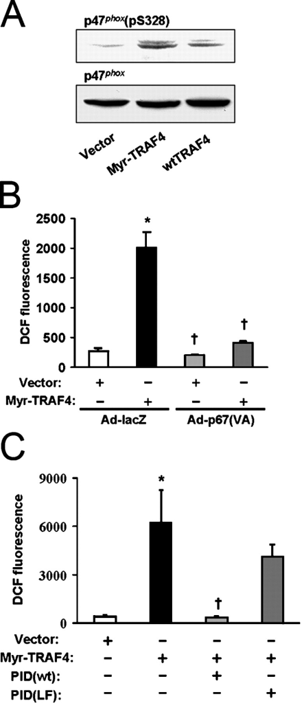 Myr-TRAF4 activates the NADPH oxidase through PAK1. (A) Phoenix-293 cells overexpressing wt-p47phox were transfected with the indicated plasmids. Whole cell lysates were immunoblotted for p47phox (pS328) and reprobed for total p47phox, demonstrating phosphorylation of p47(S328) by Myr-TRAF4. (B) HUVECs were cotransfected with DsRed and one of the indicated plasmids and were infected with Ad-lacZ or Ad-p67(V204A). DCF fluorescence of adherent DsRed-expressing cells was quantified by image analysis as described in Oxidant production. Myr-TRAF4–induced oxidant production was blocked by p67(V204A). (C) HUVECs were cotransfected with DsRed and the indicated plasmids, and oxidant production of DsRed-expressing cells was measured without manipulation. The PAK inhibitory domain (PID(wt)) but not its nonbinding mutant (PID(LF)) decreased Myr-TRAF4–induced oxidant production. (B and C) *, P < 0.05 compared with control; †, P < 0.05 compared with Myr-TRAF4 alone. Error bars represent SEM.