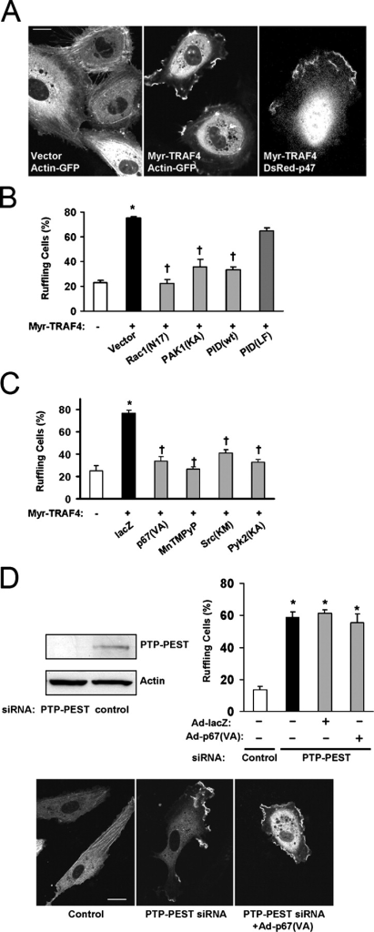 Myr-TRAF4 induces marked membrane ruffling through Rac1, PAK1, and the NADPH oxidase. (A) HUVECs were cotransfected with either empty vector or Myr-TRAF4 and either actin-GFP or DsRed-p47. Myr-TRAF4–induced ruffling is seen on multiple edges of cotransfected cells (middle). Ruffles contained DsRed-p47 (right). (B and C) HUVECs were cotransfected with actin-GFP and either empty vector (first bar) or Myr-TRAF4 and additionally with one of the indicated plasmids. PAK1(K298A) and p67(V204A) were expressed via adenoviral transduction. 100 μM MnTMPyP was added for 1 h. Inhibition of PAK1, the NADPH oxidase, Pyk2, or Src decreased the percentage of cells ruffling in response to Myr-TRAF4. *, P < 0.05 compared with vector control; †, P < 0.05 compared with Myr-TRAF4 alone. (D) HUVECs were transfected with siRNA against PTP-PEST. Immunoblot shows protein levels after 48 h. PTP-PEST knockdown increased the percentage of ruffling cells. *, P < 0.05 compared with control siRNA. Expression of p67(V204A) had no effect on the ruffling rate in PTP-PEST knockdown cells. Examples are shown below. Error bars represent SEM. Bars, 20 μm.