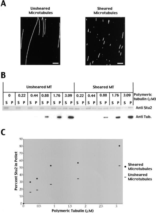 Stu2p binds preferentially to microtubule ends. (A) Antitubulin immunofluorescence of taxol stabilized microtubules before and after shearing with a tip sonicator. Bar, 5 μm. (B) Stu2p binds to a higher extent to sheared microtubules. Increasing amounts of unsheared or sheared microtubules were incubated with 19 nM Stu2p, and bound Stu2p separated from unbound Stu2p by centrifugation. Equivalent amounts of supernatants (S) and pellets (P) were analyzed by SDS-PAGE and Western blotting using a polyclonal Stu2p antibody (top) or a monoclonal tubulin antibody (bottom). (C) Plot showing the percentage of Stu2p bound to microtubules at different microtubule concentrations.