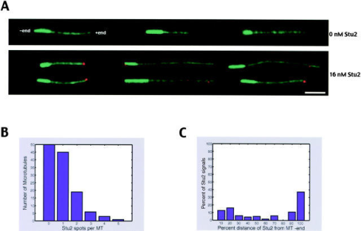 Stu2p binds preferentially to microtubule plus ends. Visualization of Stu2p binding to microtubules using directly Cy3-labeled Stu2p and polarity-marked microtubules. Stu2p intensity was scanned in the rhodamine channel from the minus end along the length of microtubules, and signals higher than 10% of the median intensity were scored with their location. (A) Representative examples of polarity-marked microtubules in the absence or in the presence of 16 nM Stu2p. Polarity marked microtubules are in green, and Stu2p is in red. The minus end of microtubules is brighter than the plus end. Bar, 3 μm. (B) Histogram showing the number of Stu2p spots per microtubule. (C) Histogram showing the percentage of Stu2p signals found in 10% intervals from the minus ends of the microtubules to their plus ends.
