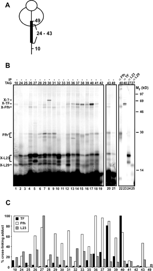 Scanning photocross-linking of nascent 77FtsQ. (A) Schematic representation of the position of (Tmd)Phe in nascent 77FtsQ. (B) In vitro translation of nascent 77FtsQTAG mutants was performed in the presence of (Tmd)Phe-tRNASup. After translation, samples were irradiated with UV light to induce cross-linking, and the ribosome–nascent chain complexes were purified and analyzed by SDS-PAGE. UV-irradiated ribosome–nascent chain complexes of 77FtsQTAG27 and 77FtsQTAG40 were immunoprecipitated as indicated. (C) Quantification of Ffh, TF, and L23 cross-linking adducts. The highest value for cross-linking efficiency was taken as 100%.