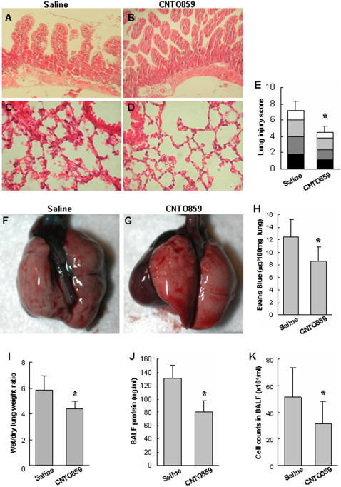 Administration of anti-hTF mAb ameliorated intestinal ischemia-reperfusion (IIR)-induced acute lung injury in hTF-KI mice.IIR challenged hTF-KI mice were treated with CNTO859 (5 mg/kg, i.v.) or saline. The representative histology (H&E, x400) from the intestine (A, B) and lung (C, D) was shown. The lung injury was scored by a pathologist in a blind fashion (E) (▪ inflammatory cells infiltration; ▪ alveolar wall edema; ▪ hemorrhage; atelectasis). □ Lung injury scores of 4 categories were analyzed with Kruskall-Wallis test, n = 4 animals/group, *: p<0.05. The pulmonary permeability was determined by Evans Blue dye assay (F, G, H). Administration of CNTO859 also reduced the wet/dry lung weight ratio (I), albumin concentration (J), and total cell counts (K) in the BAL fluid. Panels I-K: n = 4 animals/group,*: p<0.05, un-paired t-test.