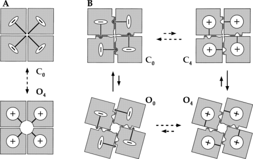 Interaction between voltage sensors and channel gating. Cartoons illustrate two hypothetical mechanisms of coupling between voltage-sensor movement and channel opening. Voltage sensors in each subunit are shown to undergo a transition between resting (−) and activated (+) conformations. For simplicity, only states with all four voltage sensors in the same conformation are shown. The independent transitions of voltage sensors are abbreviated by dashed arrows. (A) A direct coupling mechanism assumes there exists a direct physical link between voltage sensor and a gate that controls the flow of ions through the pore. Such a mechanism does not allow channels to open unless voltage sensors are activated. (B) An allosteric mechanism assumes that channel opening involves a quaternary rearrangement of subunits that alters subunit–subunit interactions (indicated by shaded areas between subunits). Voltage-sensor activation is also assumed to affect subunit–subunit interaction, and is shown here as stabilizing the closed state when voltage sensors are in the (−) conformation.
