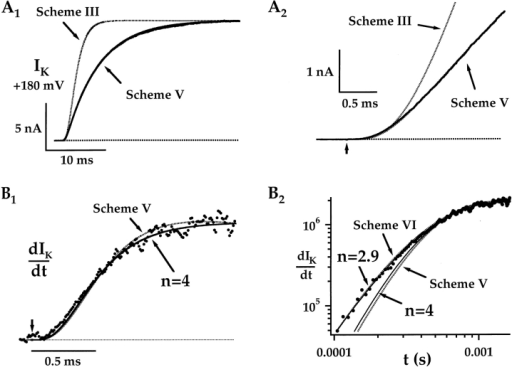 Kinetics of IK delay. (A1) IK evoked at +180 mV (7°C) is compared with the prediction of a Hodgkin-Huxley model (Scheme III: α = 375 s−1, β = 660 s−1) that approximates the delay in IK (A2), but does not reproduce the subsequent time course of activation. Fig. 5 fits both the delay and activation time course (α = 2,018 s−1, β = 1,172 s−1, δ = 341 s−1, γ = 136 s−1). Both models were constrained to reproduce the steady state open probability measured at the end of the pulse (Po ≅ GK/GKmax = 0.29) and assume channels occupy the first closed state (C0) at the start of the pulse. The derivative of the trace in A [d(IK)/dt] is plotted on linear (B1) and log–log (B2) scales and is fit by a function (1 − e−t/τ)n, where n = 4 and τ = 270 μs (B1 and B2, solid line). A better fit is obtained with n = 2.9 and τ = 316 μs (B2, solid line). The predictions of sequential gating Fig. 5 and Fig. 6 are indicated by dashed lines. (Scheme VI: X = 3, α = 600 s−1, β = 349 s−1,δ = 341 s−1, γ = 136 s−1). Current traces were shifted along the time axis by −25 μs to correct for the instrumentation delay (see methods).