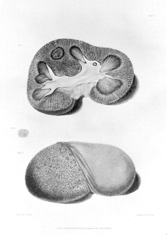 Bright's comparable large red is shown above—Plate V, Figs. 1 and 2.